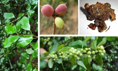 The gum is bitter, acrid, resolvent, expectorant, aphrodisiac, enriches the blood, useful in muscular rheumatism, lung complaints, dyspepsia and piles