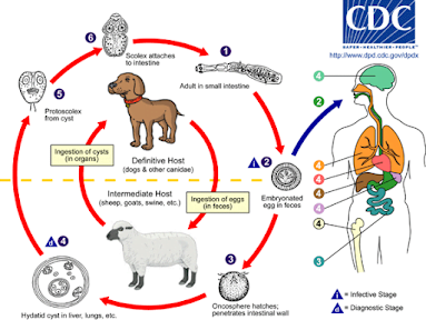 Echinococcosis | species affected and treatment